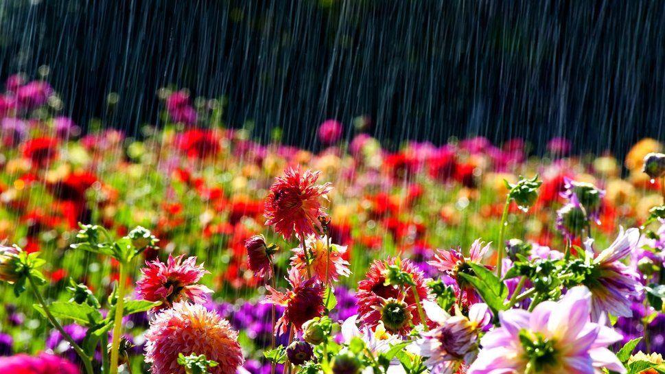 como la lluvia en primavera